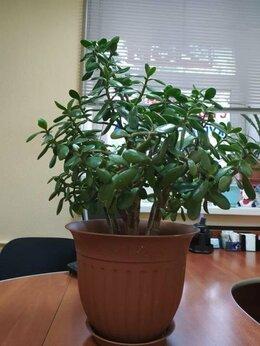 Комнатные растения - Толстя́нка (лат. Crássula) — суккулент, 0