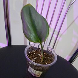 Комнатные растения - Сциндапсус отросток Moon light, 0