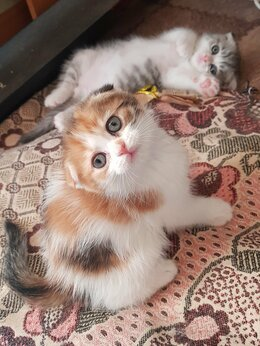 Кошки - Котята вислоухие шотланские, 0