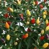 Семена Сортовых ПЕРЦЕВ для выращивания в ДОМАШНИХ условиях/БАЛКОН/Квартира по цене 50₽ - Семена, фото 2