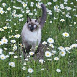 Кошки - Породистые тайские котята, 0