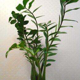 Комнатные растения - Замиокулькас-Долларовое дерево, 0