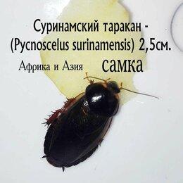 Корма  - Кормовой суринамский таракан - 3см., 0