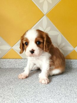 Собаки - Щенки Кавалер кинг Чарльз спаниелей, 0