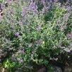 саженцы многолетников по цене 150₽ - Рассада, саженцы, кустарники, деревья, фото 3