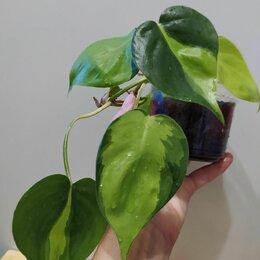 Комнатные растения - Филодендрон mediopicta tricolor Бразил, 0