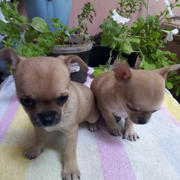 Собаки - Лилово палевый окрас чихуахуа, 0
