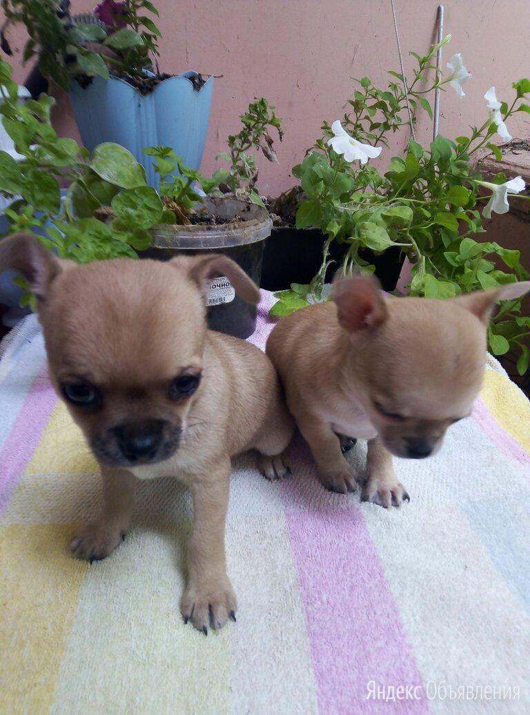 Лилово палевый окрас чихуахуа по цене 8000₽ - Собаки, фото 0