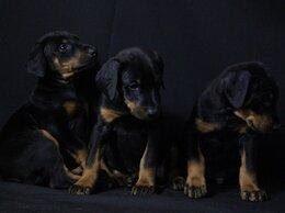 Собаки - доберман щенки, 0