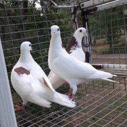 Птицы - 3 самца 20 года высоколетные, 0