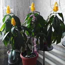 Комнатные растения - Цветок пахистахис желтый, 0