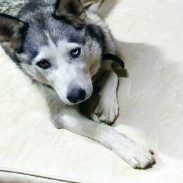 Собаки - Хаски в добрые руки, 0