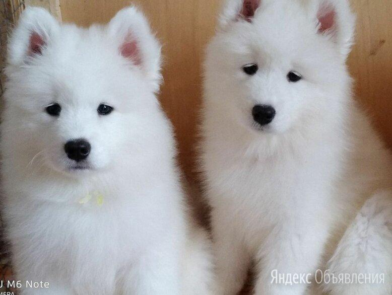 Самоедская собака по цене 30000₽ - Собаки, фото 0