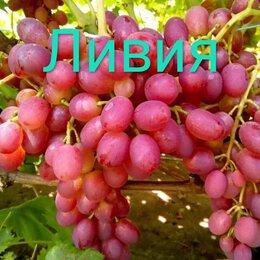 Рассада, саженцы, кустарники, деревья - Виноград Ливия, 0