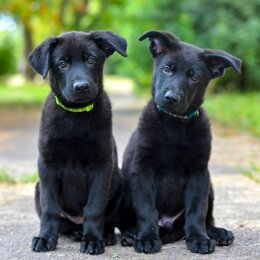 Собаки - Черные и черно-рыжие щенки немецкой овчарки, 0