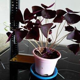 Комнатные растения - Оксалис кислица треугольная, 0