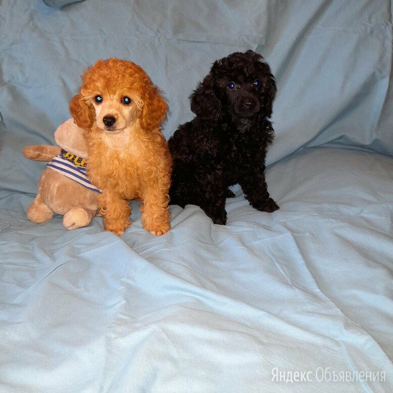 Пуделечки по цене 30000₽ - Собаки, фото 0