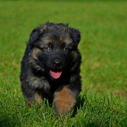 Собаки - Немецкая овчарка щенок роял, 0