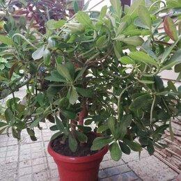 Комнатные растения - Синадениум, 0