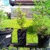 Саженцы кедр, пихта, орех маньчжурский и др по цене 200₽ - Рассада, саженцы, кустарники, деревья, фото 1