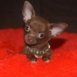 Собаки - Шоколадный мальчик чихуахуа , 0