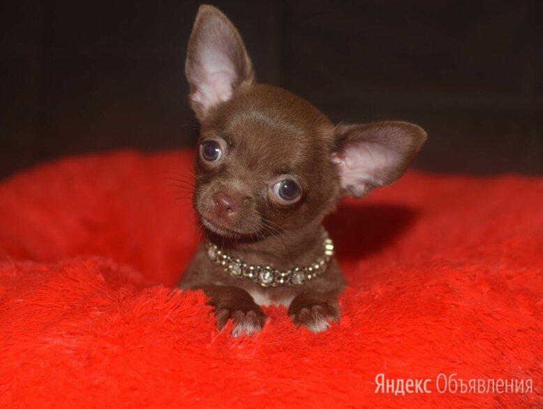 Шоколадный мальчик чихуахуа  по цене 35000₽ - Собаки, фото 0
