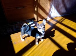 Собаки - Щенок Вельш Корги, 0