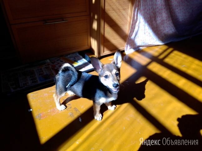 Щенок Вельш Корги по цене 6000₽ - Собаки, фото 0