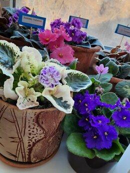 Комнатные растения - Сортовые фиалки, 0