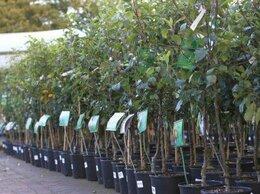 Рассада, саженцы, кустарники, деревья - Оптом саженцы плодовых деревьев недорого из…, 0