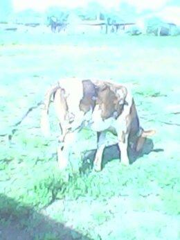 Сельскохозяйственные животные - телка, 0