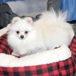 Собаки - Малыш ГУЧЧИ, Миниатюрный шпиц 8 месяцев, 0