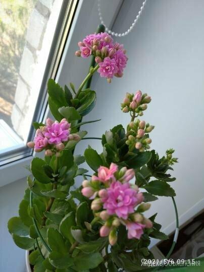 Каланхоэ цветущий (укоренённые отростки) по цене 20₽ - Рассада, саженцы, кустарники, деревья, фото 0