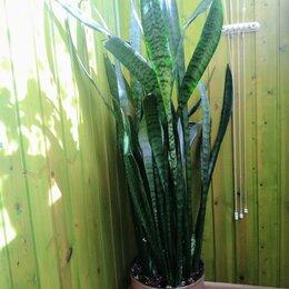 Комнатные растения - Сансевьера, 0