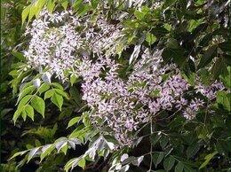Семена - Семена Мелии иранской 15 шт., 0