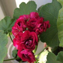 Комнатные растения - Сортовые пеларгонии, 0