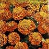 Рассада бархатцев/тагетесов по цене 15₽ - Рассада, саженцы, кустарники, деревья, фото 3