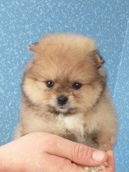 Собаки - Щенки померанского шпица, 0