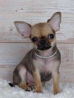 Собаки - Чихуахуа. Мини Крошка на ладошке, 0
