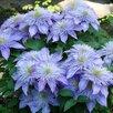 Кристал Фонтэн (Crystal Fountain) – клематис крупноцветковый. по цене 1250₽ - Рассада, саженцы, кустарники, деревья, фото 0
