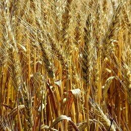 Товары для сельскохозяйственных животных - Продаю пшеница , 0