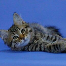 Кошки - Сибирские котята, 0