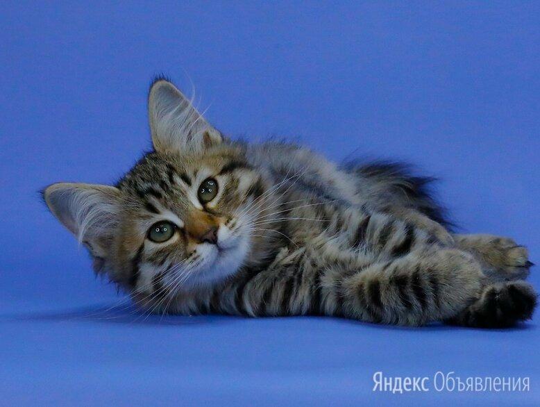 Сибирские котята по цене 25000₽ - Кошки, фото 0
