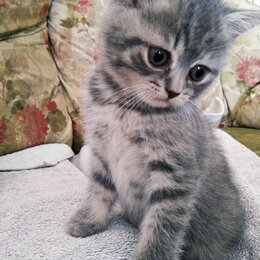 Животные - Шотландский котенок, 0