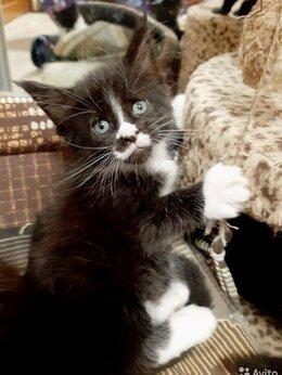 Кошки - Котята Мейн-куны чистокровные кошенята , 0