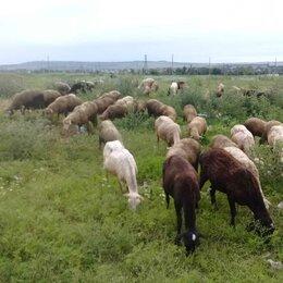 Сельскохозяйственные животные и птицы - Овцы, 0