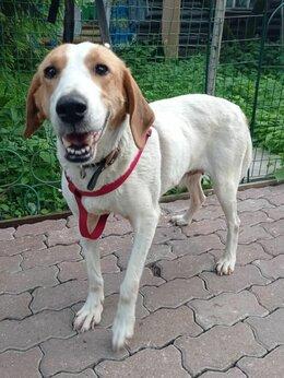 Собаки - Шикарная домашняя собака ищет дом, 0