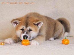 Собаки - Щенки Акита Ину с документами, 0