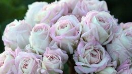 Комнатные растения - Пеларгония Царская Невеста, 0