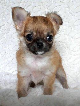 Собаки - Чихуахуа щенок мини девочка Шедевр, 0